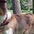 What color is Mara? Having had the pleasure of studding out both Mercury and Dublin to Mara, the 8 resulting puppies have created more questions than have been answered. Mara's […]