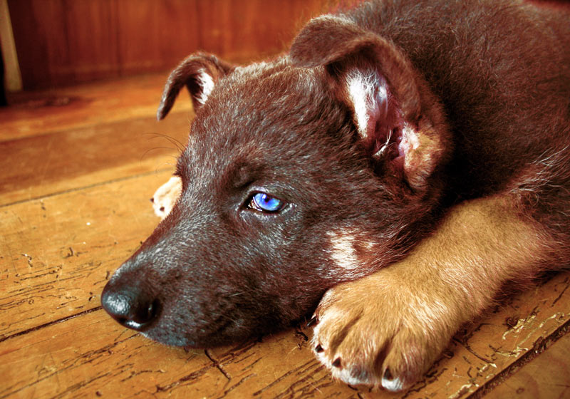 """White German Shepherd Puppies With Blue Eyes A dog with """"fierce blue eyes,"""