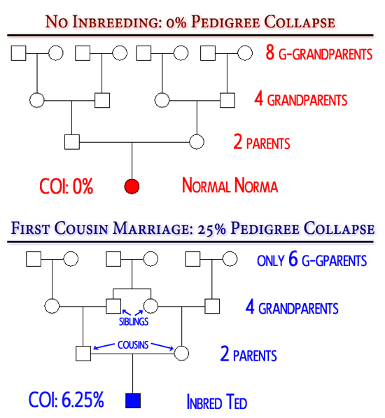 A normal person has 8 great grand parents, the product of a first cousin mating has only 6, a 25% pedigree collapse.