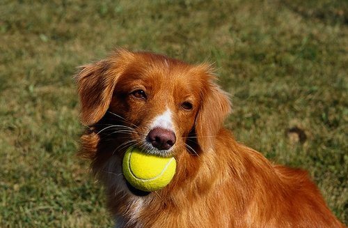 This Toller probably isn t the Nova Scotia Duck Tolling Retriever Cross Collie