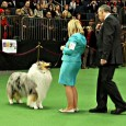 Update: Qualzucht Wins Big at Westminster The son of blind and deaf double merle stud, Wyndlair Avalanche, has won Best of Breed at the 2012 Westminster Kennel Club dog show. You […]