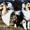There are 5 Rough Collies invited to compete at the 2012 Westminster Dog show. Those dogs are: CH Colebrae After Midnight GCH CH Clarion Ribbon In The Sky GCH CH […]