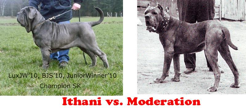 Rejected Champion Ithani versus a more moderate Neapolitan Mastiff