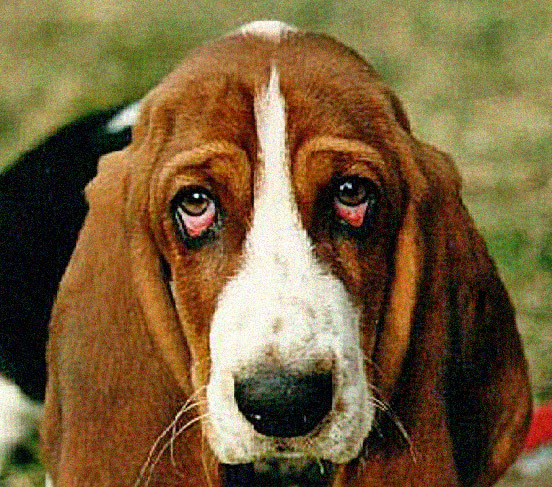 Droopy Eye Dog