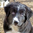 This is Bear, he just turned 12 weeks old, and he's now ready for the perfect home to spoil him. Update: Found the perfect home for Bear on some acreage […]