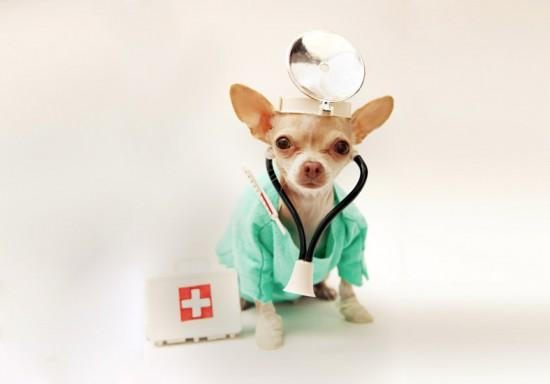 health_testing_chihuahua