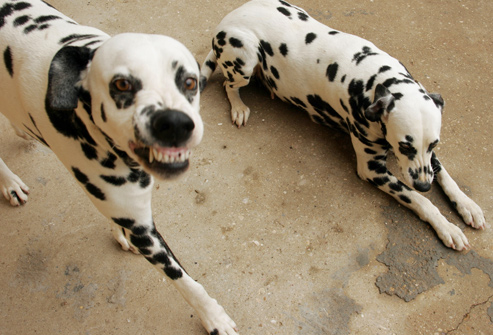 Why Dalmatians Are A Train Wreck