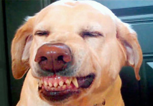 The mimic grin is associated with passive submission in dogs.