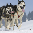 I've already established that despite sheeple love for the myth of Sled Dogs, Border Collies are not in fact bred like them. In a later post I'll show how they […]