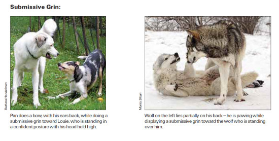 A dog and wolf display submissive grins toward the more confident animals.