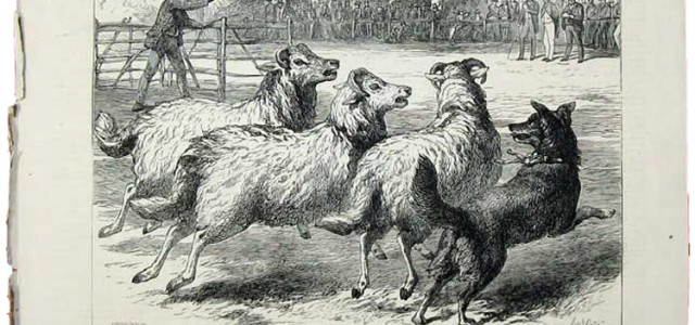 Contrary to popular myth, early trials were gentry sponsored and therefore heavily freighted with elite values concerning the nature of the shepherds' craft. Early trials accented speed, agility and obedience […]