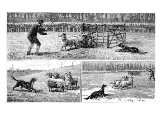 1882 Sheepdog Trial at Alexandra Palace