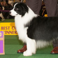 The two top Border Collies coming out of the Westminster Kennel Club 2014 show are the inaugural Master's Agility Championship winner, Kelso, and the Best In Breed winner Tang Dynasty […]