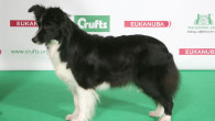 Crufts 2014 is in full swing and the breed judging for the Bo