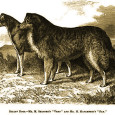 """FromAnecdotes of Dogsby Edward Jesse, Esq., 1858 The Colley Or Shepherd's Dog: Hectorhears where his master is going, and precedes him """"Hector was quite incapable of performing the same feats […]"""