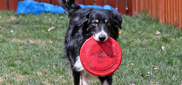 A cutting edge treatment for canine arthritis with no cutting and no toxicity. There's a widespread, serious, and almost universal welfare issue in dog ownership — perhaps larger in scope […]